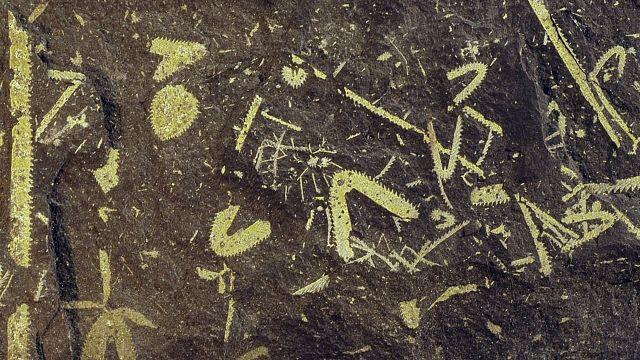 Graptolite plankton fossils