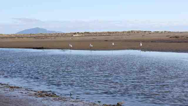 Royal spoonbills on Ōhau River beach