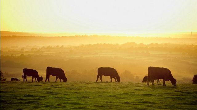 Cows grazing on fields