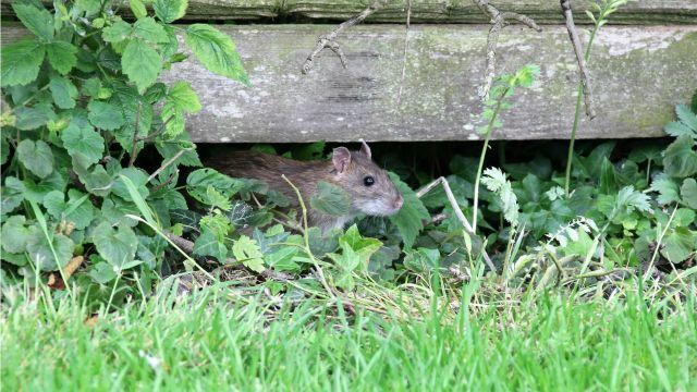 rat under house