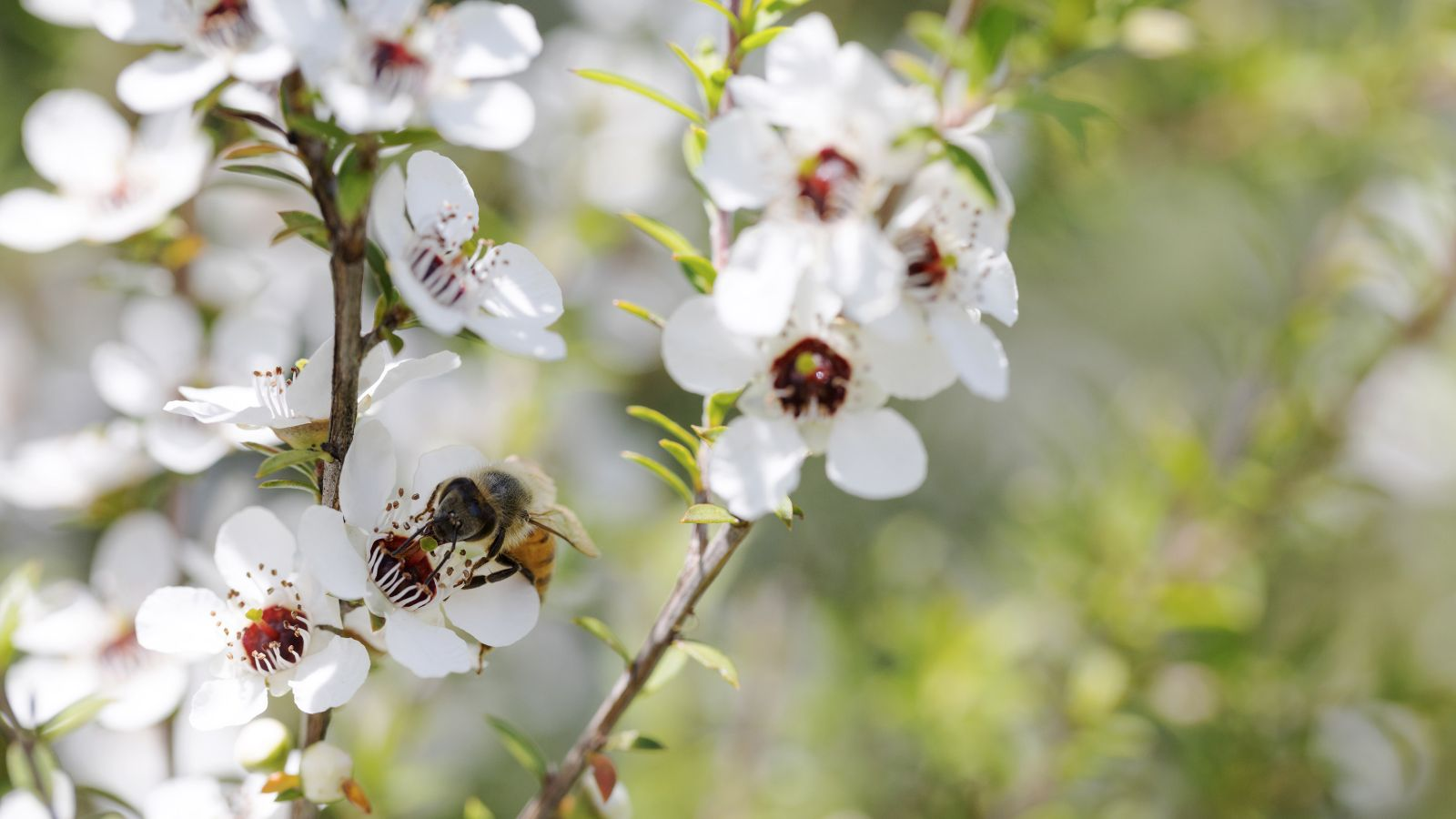 Honey bee on Manuka blossom