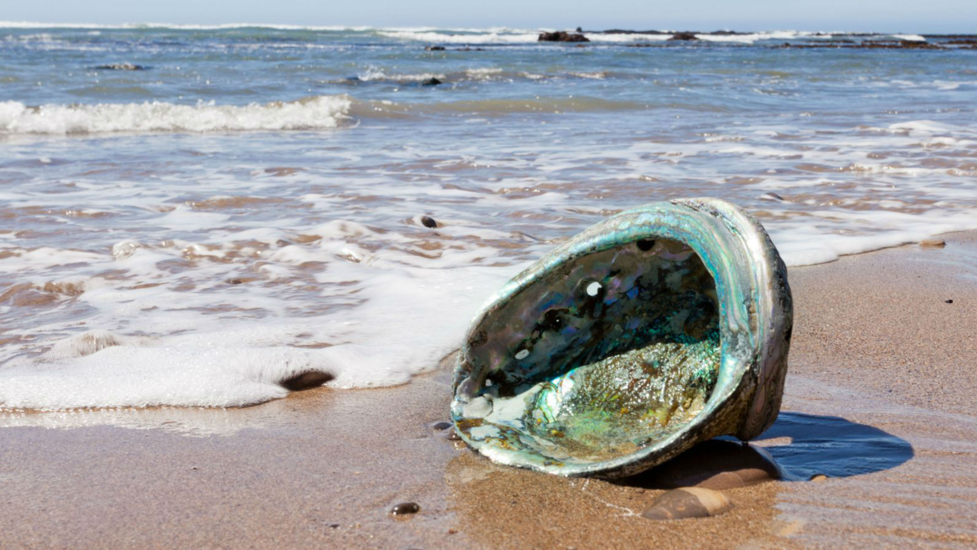 Empty paua shell on beach