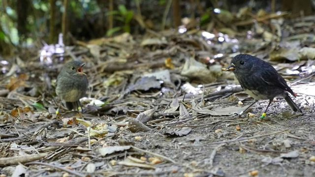 Zealandia robin shares a mealworm with his mate