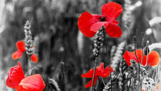 Red poppies on a black and white background
