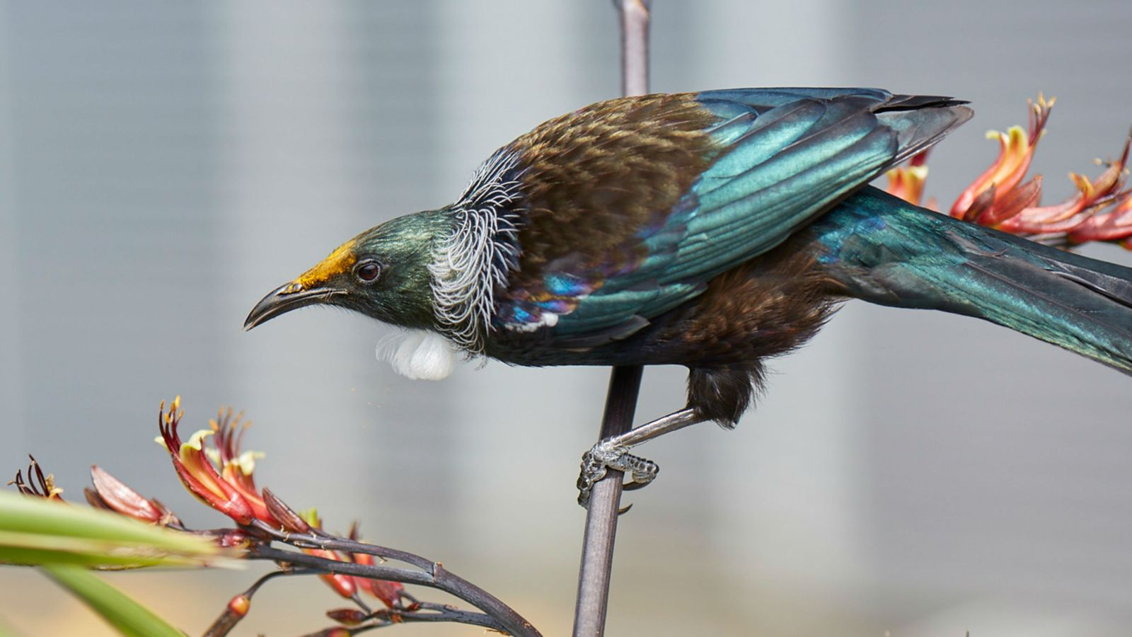 A tui perching on a flax plant