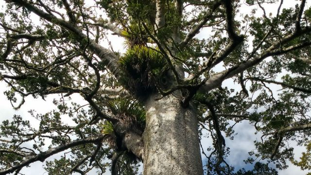 Beneath the branches of a kauri tree.